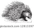 engraving, vintage, porcupine 12813397