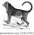 Cheetah (Acinonyx jubatus) vintage engraving 12813761