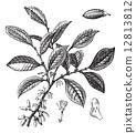 Cocaine or Coca or Erythroxylum coca vintage engraving 12813812