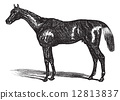 Thoroughbred vintage engraving 12813837