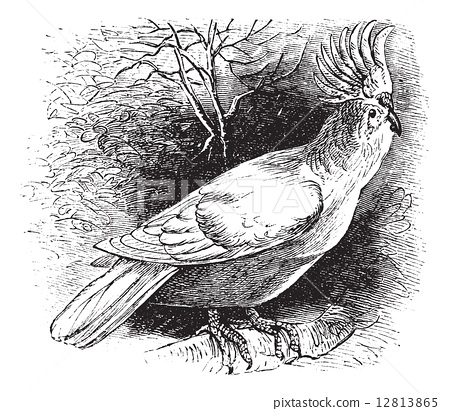 Major Mitchell's Cockatoo or Lophochroa leadbeateri, Cockatoo, v 12813865