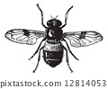 Fig 19. Volucella, vintage engraving. 12814053