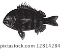 engraving, vintage, sheepshead 12814284