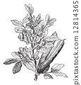 Fava Bean or Vicia faba, vintage engraving 12814365