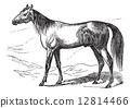 Arabian Horse vintage engraving 12814466