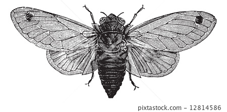 Seventeen-Year Cicada or Magicicada cassini or Magicicada septen 12814586