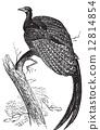 Argus giganteus or Great pheasant, common specie of pheasant old 12814854