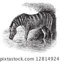 Donkey or Equus asinus vintage engraving 12814924