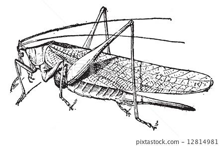 Grasshopper vintage engraving 12814981
