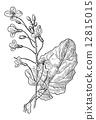 Rapeseed or Brassica napus, vintage engraving 12815015