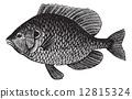 Pumpkinseed Sunfish or Lepomis gibbosus, vintage engraving 12815324