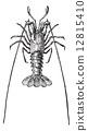 Crayfish or crawdads, vintage engraving. 12815410