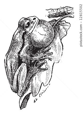 Frog, vintage engraving 12815502