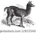 Alpaca or Vicugna pacos vintage engraving. 12815540