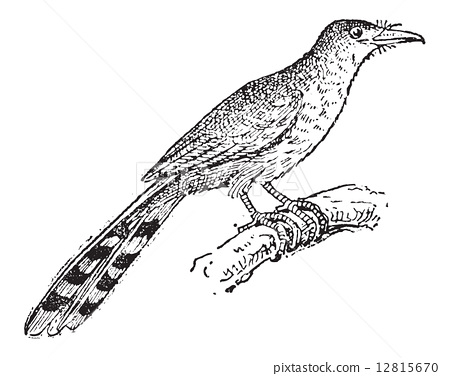 Hispaniolan Lizard Cuckoo or Coccyzus longirostris, vintage engr 12815670