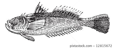 Stargazer or Uranoscopus, vintage engraving 12815672