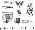 Silkworm or Bombyx mori, vintage engraving 12815718