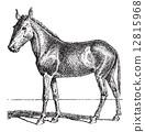 Mule or Equus mulus, vintage engraving 12815968