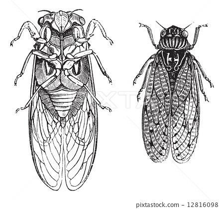 Cicada or Cicadidae or Tettigarctidae vintage engraving 12816098