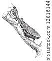 Praying Mantis or Mantis religiosa, vintage engraving 12816144