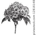 Kalmia latifolia or Mountain-laurel vintage engraving 12816148