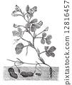 Peanut or Groundnut vintage engraving 12816457