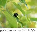 樟脑树 樟木 水果 12816556