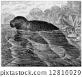 Manatee or Sea cows, vintage engraving. 12816929