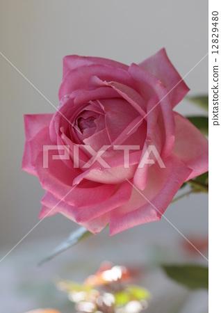玫瑰婚礼钟声 12829480