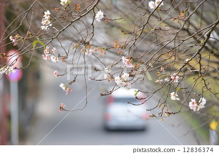 winter cherry blossoms, bloom, blossom 12836374