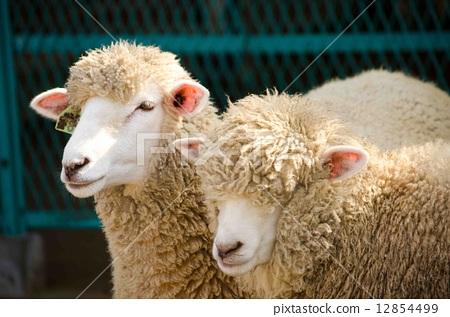 sheep 12854499