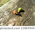樟木 樟脑树 水果 12864944
