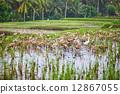 Ducks on rice fields near Ubud, Bali, Indonesia 12867055