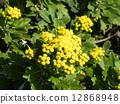 検見川 바닷가 해안 식물의 이소기쿠가 노란 꽃을 피 웠습니다 12868948