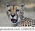 hunting leopard 12882635