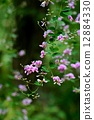 싸리 꽃 12884330