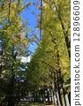 은행, 나무, 가로수 12896609