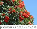 pyracantha, firethorn, berry 12925734
