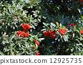 pyracantha, firethorn, berry 12925735