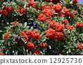 pyracantha, firethorn, berry 12925736