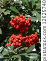 pyracantha, firethorn, berry 12925740