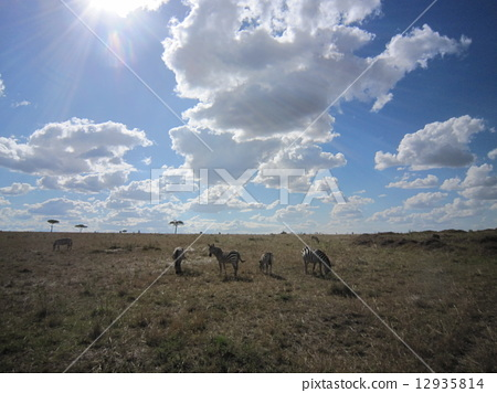 Kenya · Masai Mara National Park, Zebras in Maasai Mara, Kenya 12935814