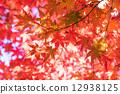 단풍나무, 단풍 나무, 단풍 12938125