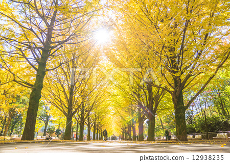 ginkgo, gingko, row of ginkgo trees 12938235