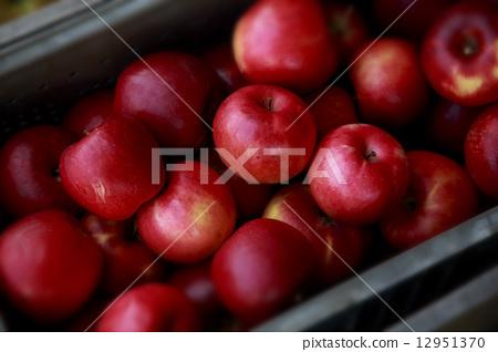 Harvesting of apples 12951370