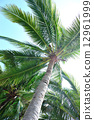 coconut, tropical, tree 12961999