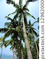 palm trees with fruits in the blue sunny sky  12962000