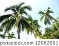 coconut, tropical, tree 12962001