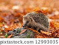 hedgehog cute autumn 12993035