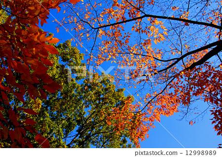 단풍, 나무, 금추 12998989